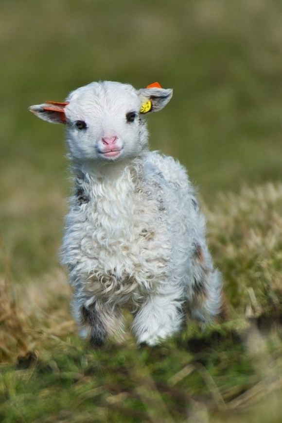 l-Little-lamb